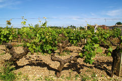 Vine. Plantation, blue sky, day Royalty Free Stock Photo