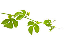 Vine. Isolated on white background Royalty Free Stock Photo