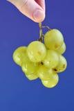 Vine. Green grape vine on blue background Stock Image