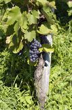 Vine. And grapes in vintage time Stock Photo