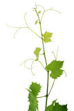 Vine. Green grape germ isolated on white background Royalty Free Stock Photo