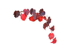 Vine. Colorful fall vine isolated on white Stock Photos