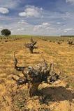 Vine. Landscape of vineyards in the field Stock Photo