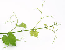 Vine. Green grape germ isolated on white background Royalty Free Stock Photography