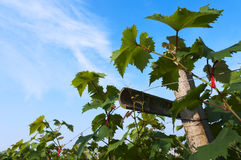 Vine. Green grape vine leafs on blue sky stock photos