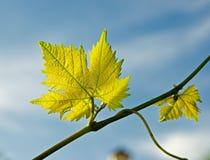 Vine. Stock Photos