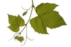 Vine. Close up of vine stem on white royalty free stock photo