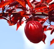 On the Vine. Red Plum on the Vine Stock Photos