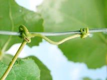 vine fotografering för bildbyråer