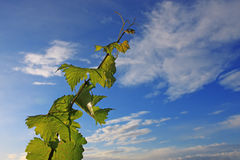 Vine. Tendrils on the sky background royalty free stock images