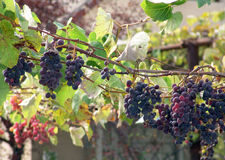 Vine. In the orchard Royalty Free Stock Photography