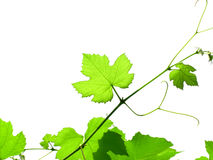 Vine. Leaves in a grape, isolated over white royalty free stock photos