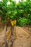 Vine. Of Moscato grape in south of Spain Royalty Free Stock Photo