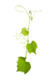 Vine. Vitis grape isolated over white background Royalty Free Stock Photo