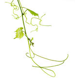 Vine. Vitis grape isolated over white background royalty free stock images