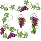 Vine. A set of elements from the vine for decoration Royalty Free Stock Photo