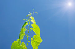 Vine against a blue sky and sun Royalty Free Stock Photography