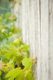 Vine against the fence Stock Image
