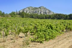 Vine in the Alpilles in France royalty free stock photography