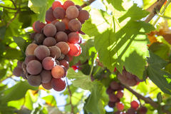 Vine arbor grapes. Closeup plenty of summer sun sunrays, Spain stock photography