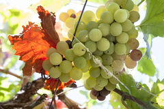 Vine arbor grapes. Closeup plenty of summer sun sunrays, Spain stock image