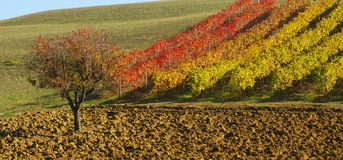 Vine in autumn Royalty Free Stock Photo