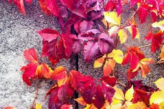 Vine in autumn on concrete. Vine in the sunny autumn on the concrete day royalty free stock image