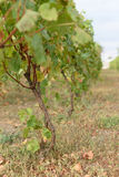 Vine at Autumn. Vine with green and dry leaves at autumn vinery Stock Photography