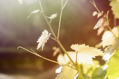 Vine. Autumn. Harvest. Leaves lit by the sun. Bright picture