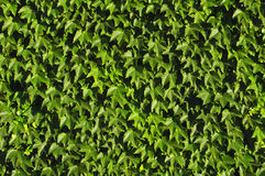 Vine Background Stock Photography