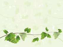 Vine background with green grapes Stock Photo