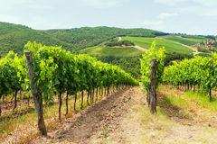 Vine on a background of the Tuscan hills in the summer Royalty Free Stock Image