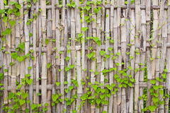 Vine on bamboo wall Stock Photos
