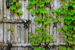 Vine on bamboo wall garden, fence, zen. Vine on the old bamboo wall garden, fence, zen. Close up Royalty Free Stock Photos