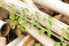Vine on bamboo wooden Stock Photography