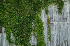 Vine on barn Royalty Free Stock Images
