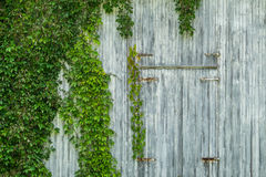 Vine on barn Stock Photo