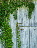 Vine on barn Stock Images