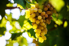 Vine bathed in the morning sun Royalty Free Stock Image