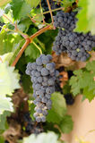 Vine with black grapes Stock Image