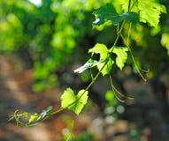Vine branch. Against the sun Stock Image