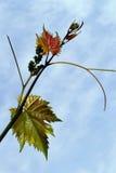 Vine branch on beautiful blue sky. Vines began vegetatie.Au period began to form grapes stock photos