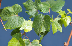 Vine branch with green grape leaves closeup Stock Photos