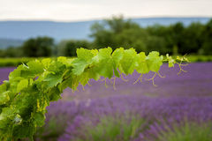 A vine branch on the lavender background, focus is on the single Royalty Free Stock Photos