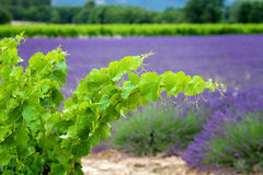 A vine branch on the lavender background, focus is on the single Royalty Free Stock Image