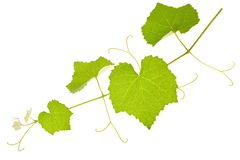Vine branch Royalty Free Stock Photography