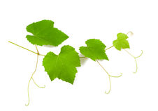 Vine branch Stock Photo