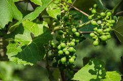 Vine on the branch. Green grape clusters stock photos