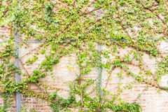 Vine Branch, Vine leaves on wall background Stock Photos