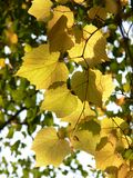 Vine branch with yellow leaves. Autumn: Vine branch with yellow leaves Royalty Free Stock Photos